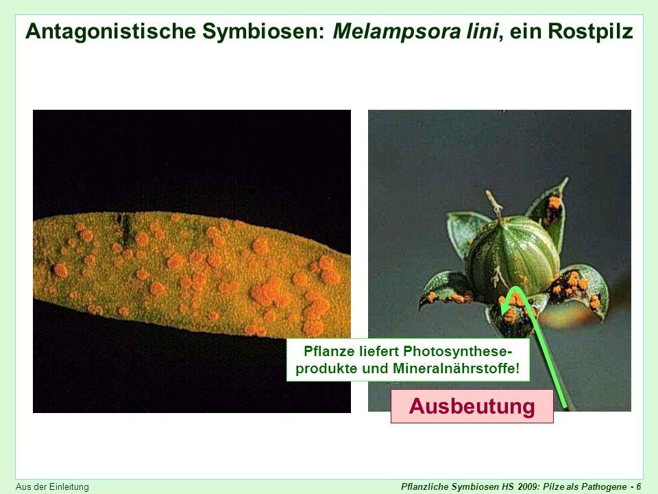 Pflanzliche Symbiosen HS 2009: Pilze als Pathogene - 27 Biotrophie Biotrophe Strategie des Krankheitserregers Der Erreger dringt ins Pflanzengewebe ein, ohne dass die Pflanze etwas davon merkt Der Erreger ernährt sich vom lebenden Gewebe Die Wirtspflanze wird zunächst kaum geschädigt Interessant - der Erreger tarnt sich vielleicht als Symbiont !