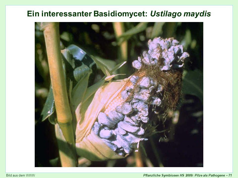 Pflanzliche Symbiosen HS 2009: Pilze als Pathogene - 71 Ein interessanter Basidiomycet: Ustilago maydis Ustilago maydis: Übersicht Bild aus dem WWW