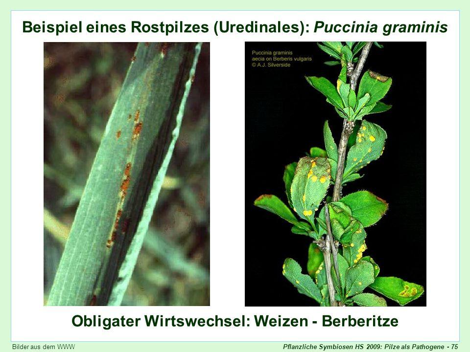 Pflanzliche Symbiosen HS 2009: Pilze als Pathogene - 75 Puccinia graminis: Bilder Beispiel eines Rostpilzes (Uredinales): Puccinia graminis Obligater