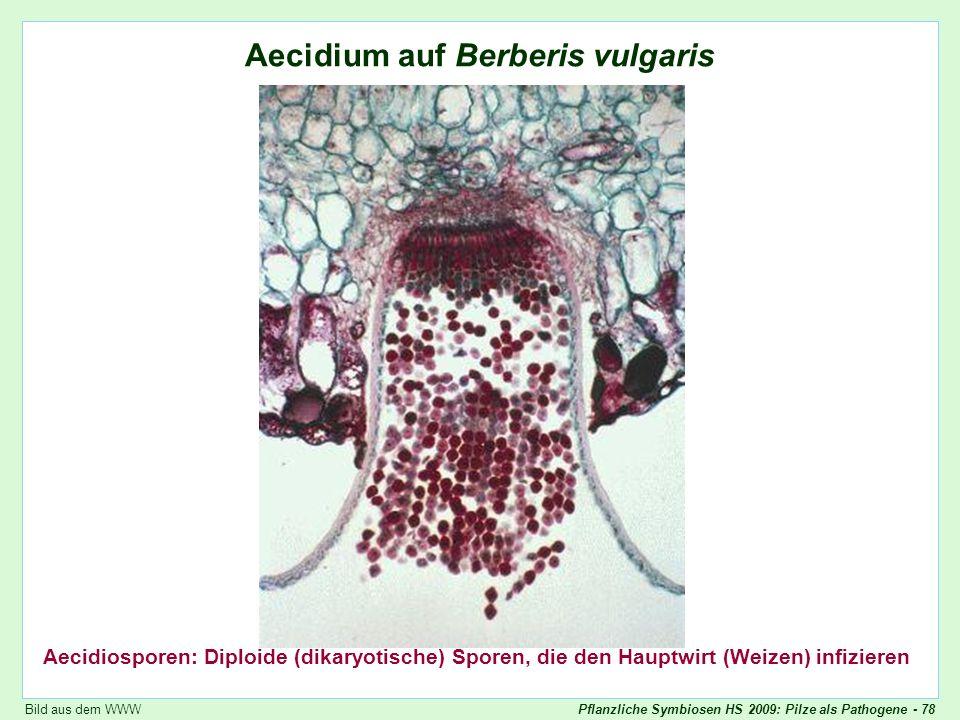 Pflanzliche Symbiosen HS 2009: Pilze als Pathogene - 78 Puccinia graminis: Aecidium auf Berberitze Aecidium auf Berberis vulgaris Aecidiosporen: Diplo