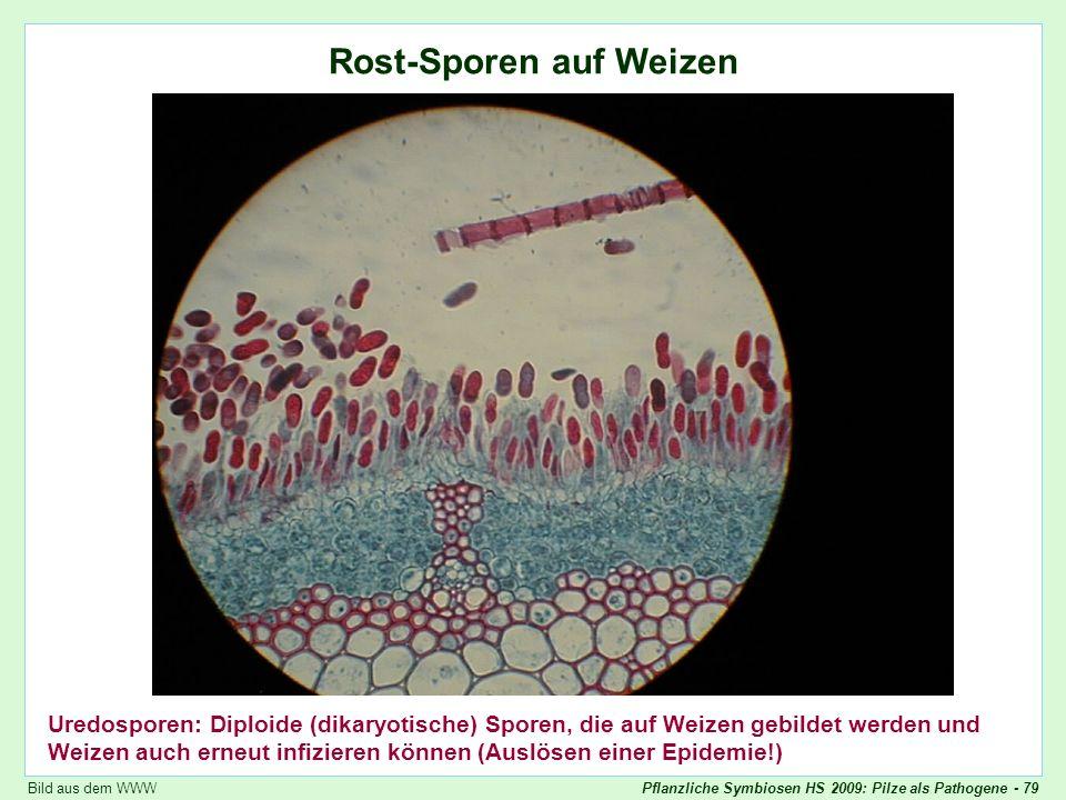 Pflanzliche Symbiosen HS 2009: Pilze als Pathogene - 79 Puccinia graminis: Rost-Sporen auf Weizen Rost-Sporen auf Weizen Uredosporen: Diploide (dikary
