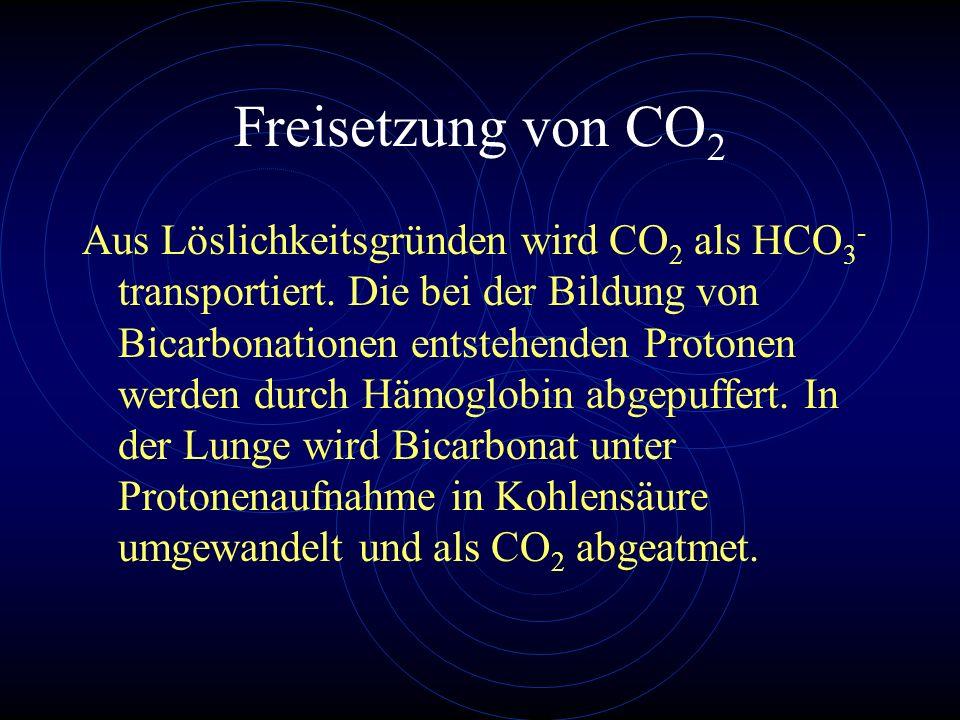 Freisetzung von CO 2 Aus Löslichkeitsgründen wird CO 2 als HCO 3 - transportiert. Die bei der Bildung von Bicarbonationen entstehenden Protonen werden