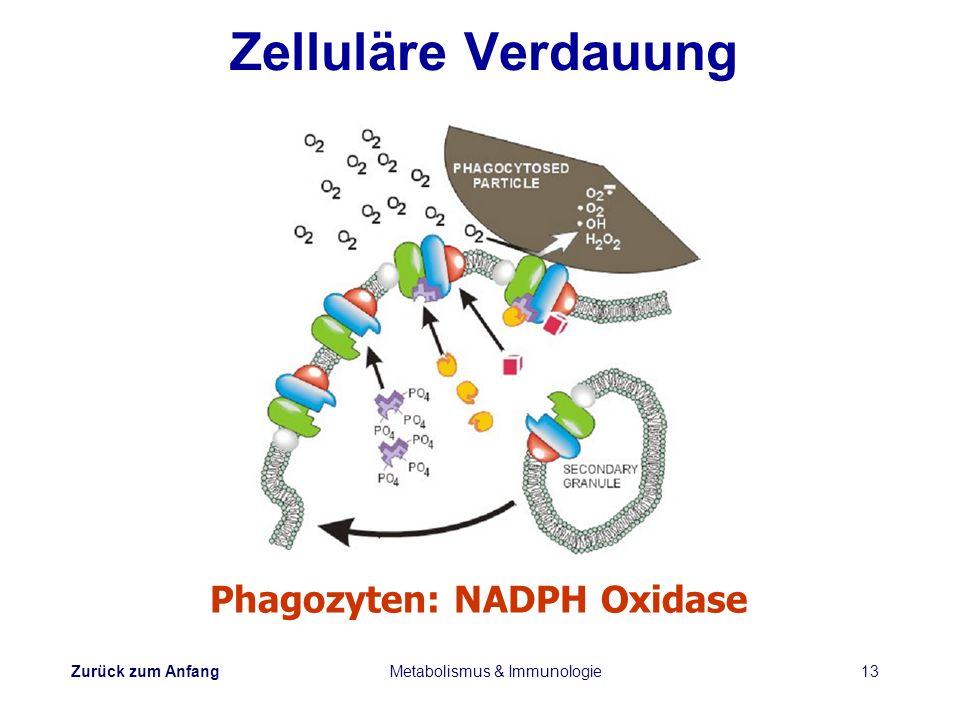 Zurück zum Anfang Metabolismus & Immunologie13 Zelluläre Verdauung Phagozyten: NADPH Oxidase