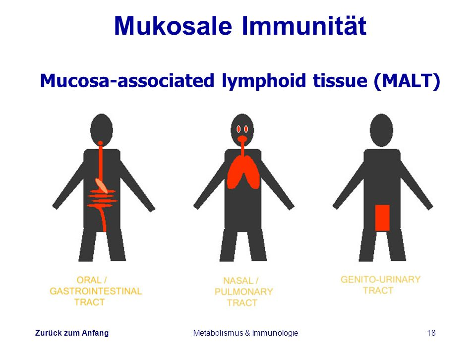Zurück zum Anfang Metabolismus & Immunologie18 Mukosale Immunität Mucosa-associated lymphoid tissue (MALT)
