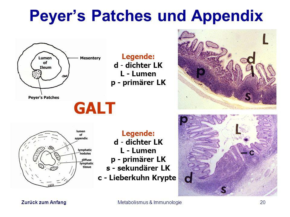Zurück zum Anfang Metabolismus & Immunologie20 Peyers Patches und Appendix Legende: d - dichter LK L - Lumen p - primärer LK Legende: d - dichter LK L