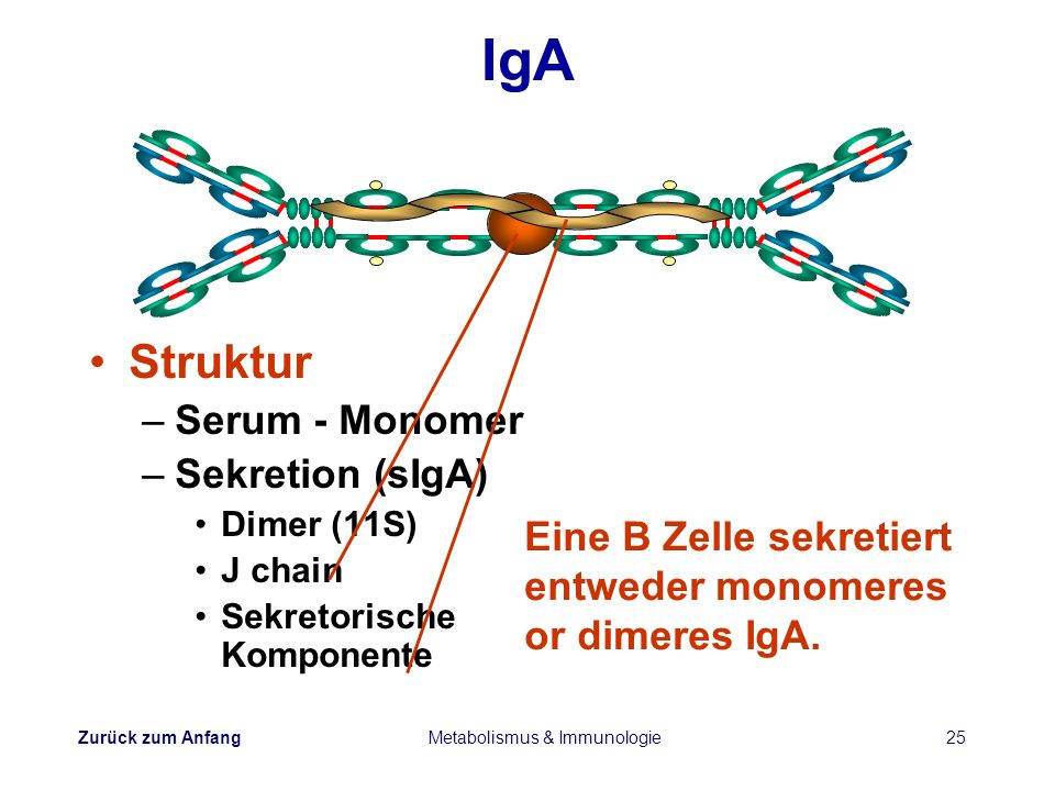Zurück zum Anfang Metabolismus & Immunologie25 IgA Struktur –Serum - Monomer –Sekretion (sIgA) Dimer (11S) J chain Sekretorische Komponente Eine B Zel