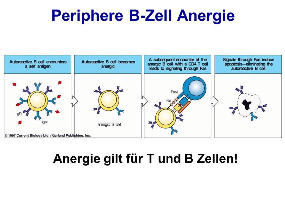 Periphere B-Zell Anergie Anergie gilt für T und B Zellen!