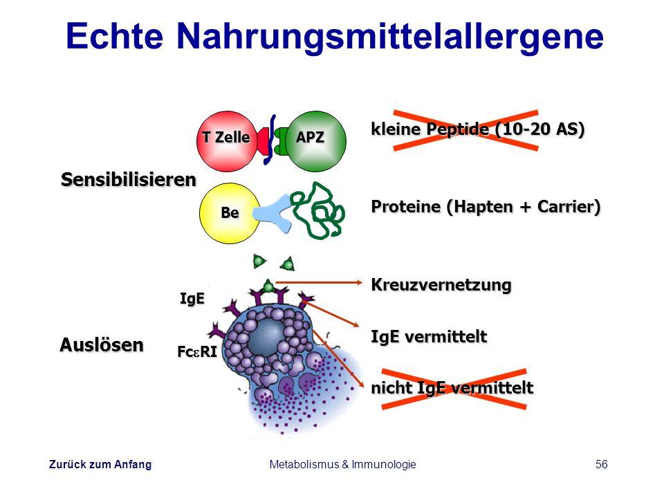 Zurück zum Anfang Metabolismus & Immunologie56 Sensibilisieren Auslösen kleine Peptide (10-20 AS) Proteine (Hapten + Carrier) Kreuzvernetzung IgE verm