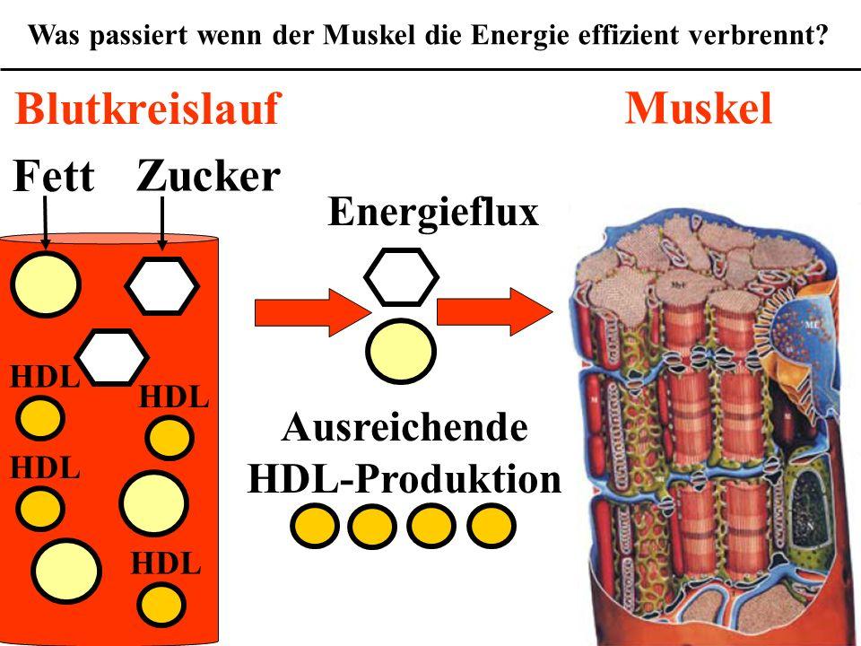 Wofür ist das Cholesterin gefährlich? Was passiert wenn der Muskel die Energie effizient verbrennt? Fett Zucker Muskel Blutkreislauf HDL Ausreichende