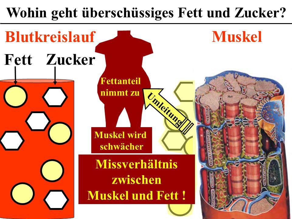 Wofür ist das Cholesterin gefährlich? Wohin geht überschüssiges Fett und Zucker? Fett Zucker Muskel Blutkreislauf Umleitung Fettanteil nimmt zu Muskel