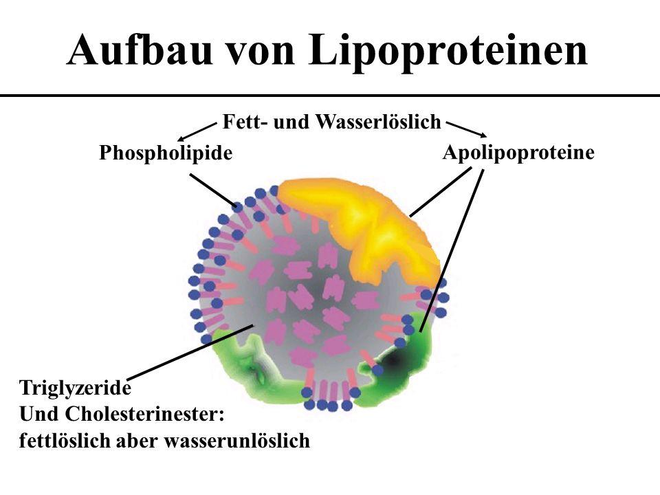 Aufbau von Lipoproteinen Phospholipide Triglyzeride Und Cholesterinester: fettlöslich aber wasserunlöslich Apolipoproteine Fett- und Wasserlöslich
