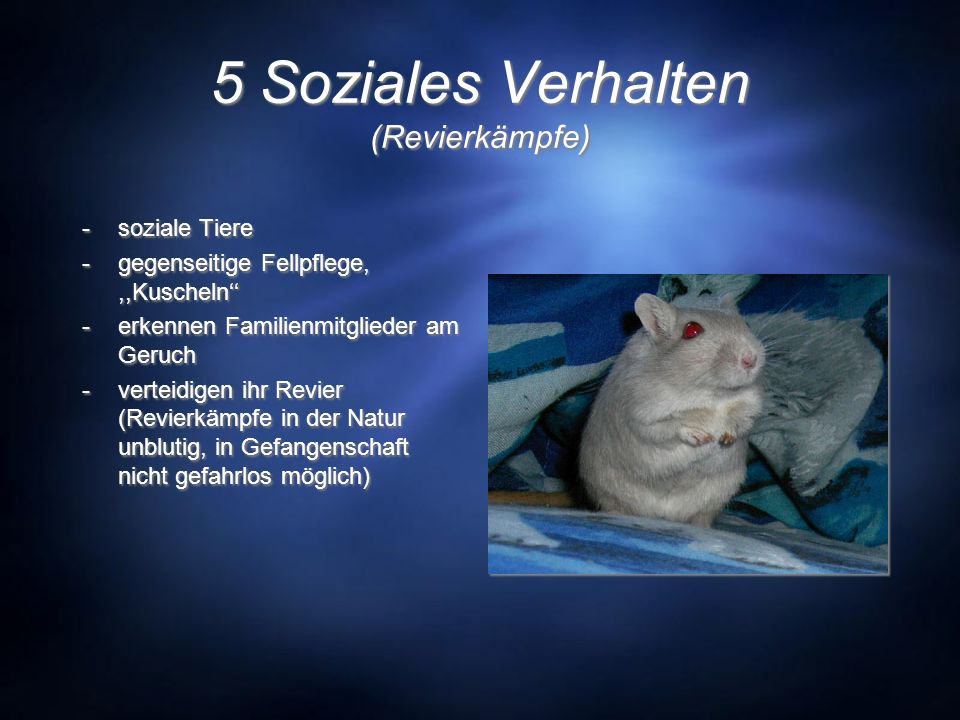 5 Soziales Verhalten (Revierkämpfe) -soziale Tiere -gegenseitige Fellpflege,,,Kuscheln -erkennen Familienmitglieder am Geruch -verteidigen ihr Revier