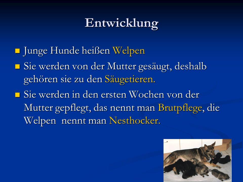 Entwicklung Junge Hunde heißen Welpen Junge Hunde heißen Welpen Sie werden von der Mutter gesäugt, deshalb gehören sie zu den Säugetieren.