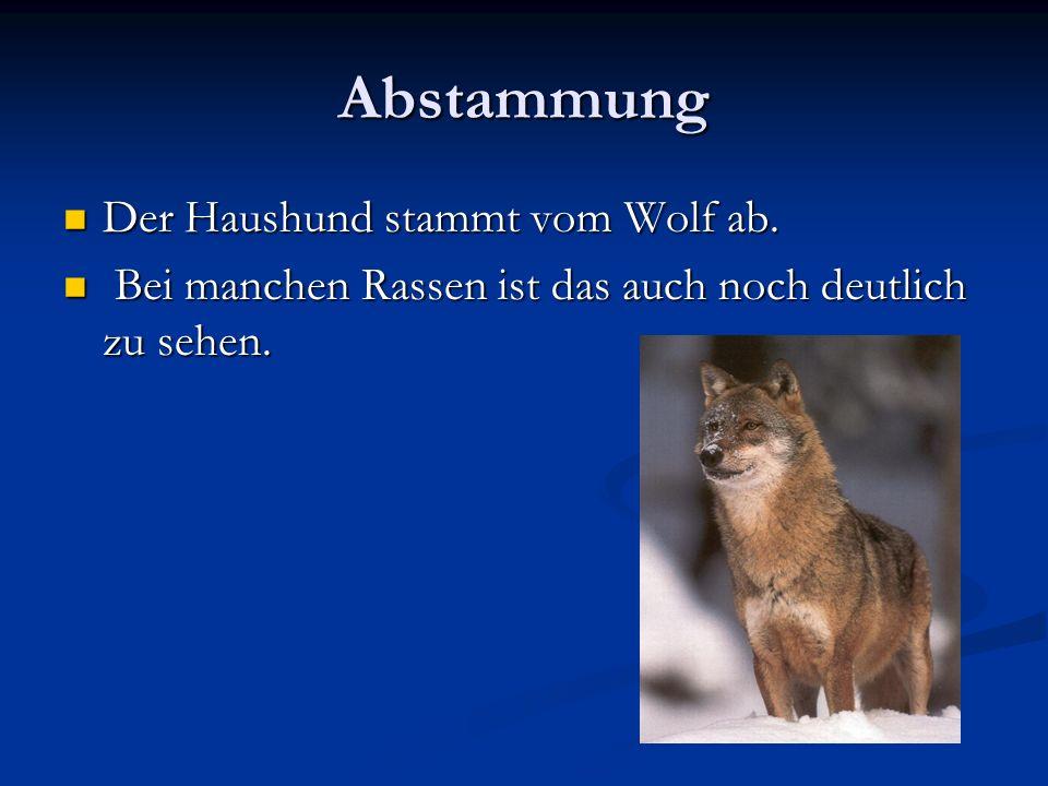 Abstammung Der Haushund stammt vom Wolf ab.Der Haushund stammt vom Wolf ab.