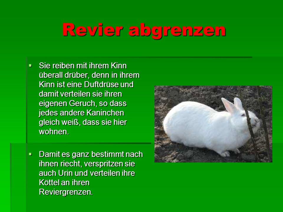Revier abgrenzen Sie reiben mit ihrem Kinn überall drüber, denn in ihrem Kinn ist eine Duftdrüse und damit verteilen sie ihren eigenen Geruch, so dass jedes andere Kaninchen gleich weiß, dass sie hier wohnen.