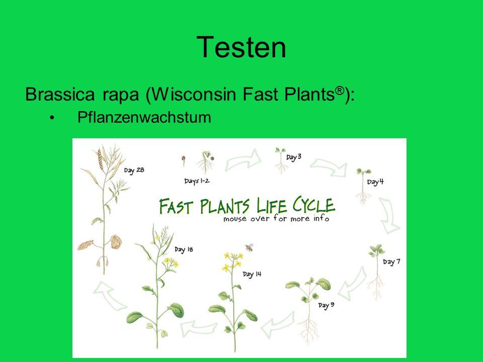 Testen Brassica rapa (Wisconsin Fast Plants ® ): Pflanzenwachstum