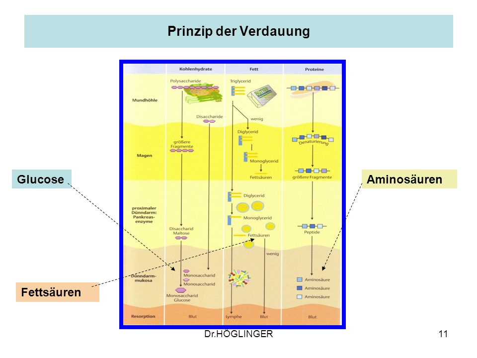 11 Prinzip der Verdauung Glucose Fettsäuren Aminosäuren Dr.HÖGLINGER