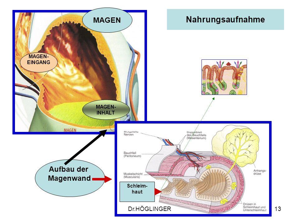 13 Nahrungsaufnahme MAGEN MAGEN- EINGANG MAGEN- INHALT Aufbau der Magenwand Schleim- haut Dr.HÖGLINGER