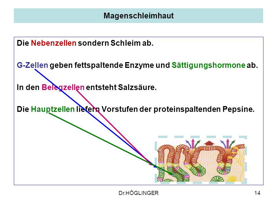 14 Magenschleimhaut Die Nebenzellen sondern Schleim ab.