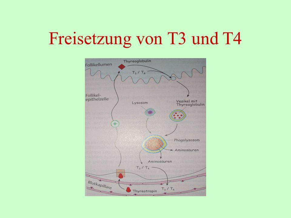 Freisetzung von T3 und T4
