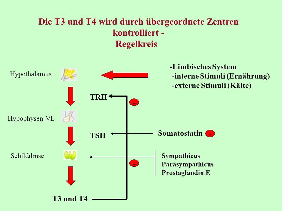 Die T3 und T4 wird durch übergeordnete Zentren kontrolliert - -Limbisches System -interne Stimuli (Ernährung) -externe Stimuli (Kälte) Hypothalamus Hy