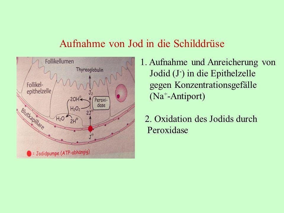 1. Aufnahme und Anreicherung von Jodid (J - ) in die Epithelzelle gegen Konzentrationsgefälle (Na + -Antiport) 2. Oxidation des Jodids durch Peroxidas