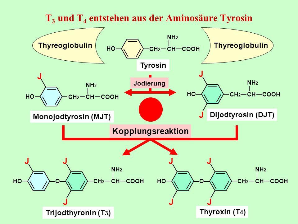 CH 2 NH 2 CHCOOH O HO JJ J Trijodthyronin (T 3 ) CH 2 NH 2 CHCOOH O HO JJ JJ Thyroxin (T 4 ) CH 2 NH 2 CHCOOH HO J Monojodtyrosin (MJT) CH 2 NH 2 CHCO