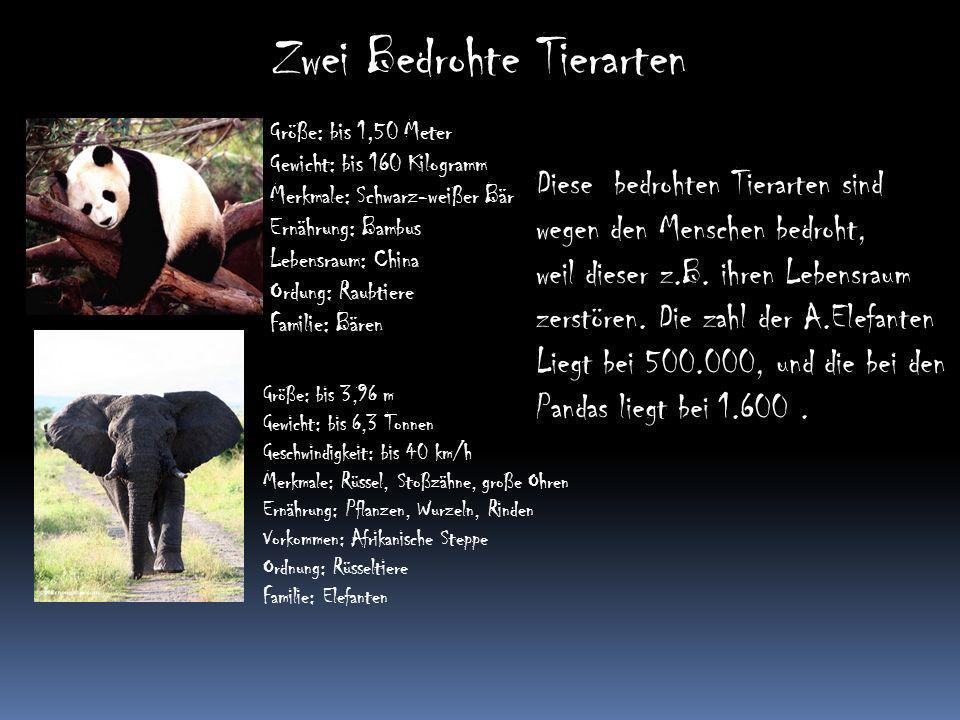 Zwei Bedrohte Tierarten Größe: bis 1,50 Meter Gewicht: bis 160 Kilogramm Merkmale: Schwarz-weißer Bär Ernährung: Bambus Lebensraum: China Ordung: Raub
