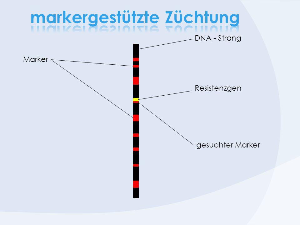 Marker Resistenzgen DNA - Strang gesuchter Marker