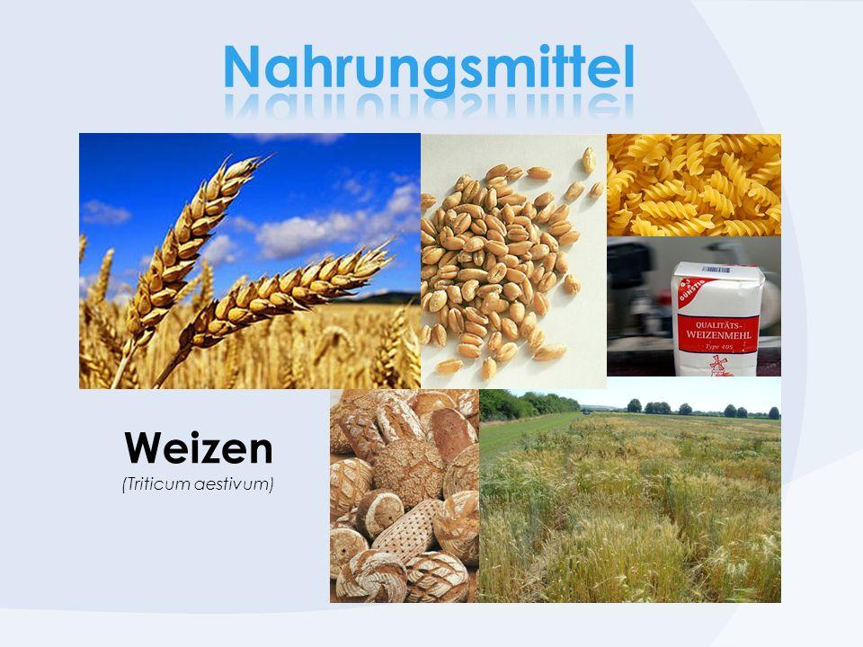 Weizen (Triticum aestivum)