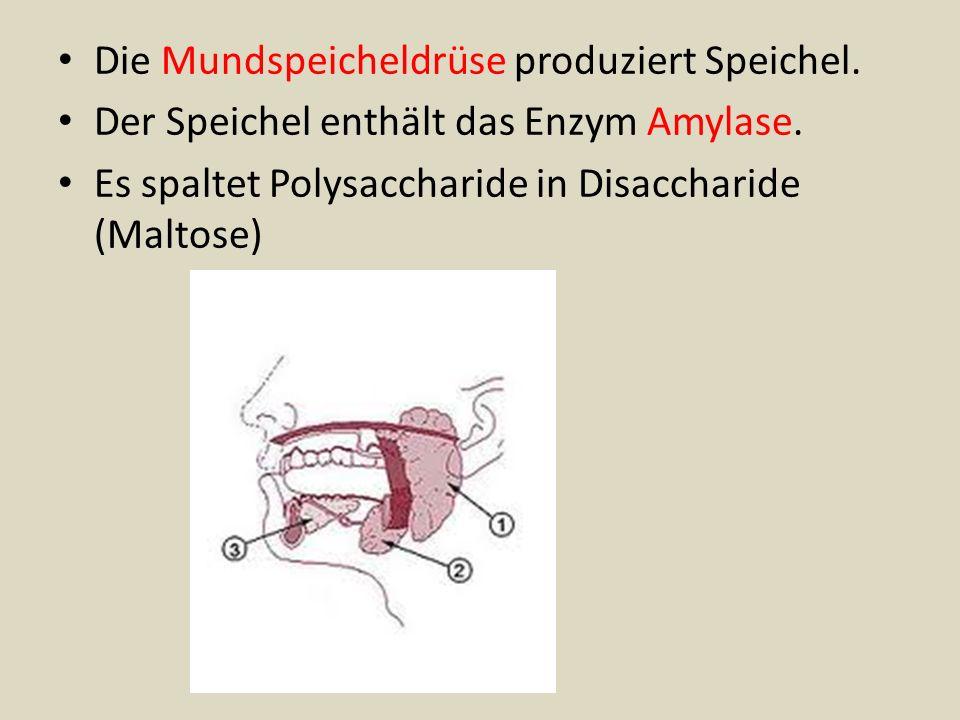 Die Mundspeicheldrüse produziert Speichel. Der Speichel enthält das Enzym Amylase. Es spaltet Polysaccharide in Disaccharide (Maltose)