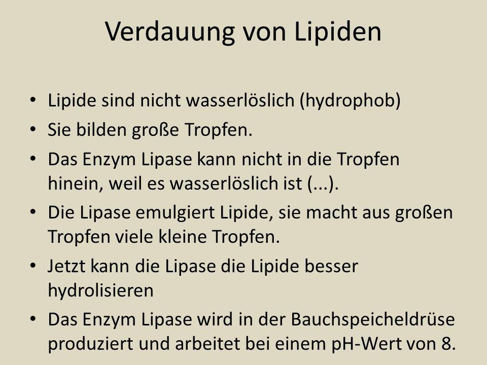 Verdauung von Lipiden Lipide sind nicht wasserlöslich (hydrophob) Sie bilden große Tropfen. Das Enzym Lipase kann nicht in die Tropfen hinein, weil es