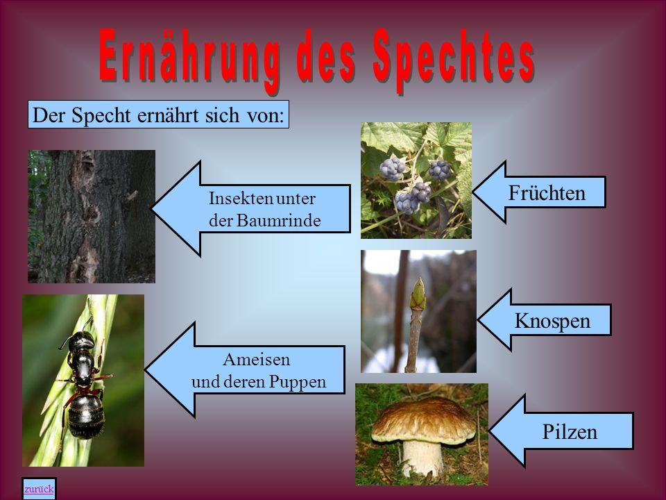 Der Specht ernährt sich von: Insekten unter der Baumrinde Ameisen und deren Puppen Knospen Pilzen zurück Früchten