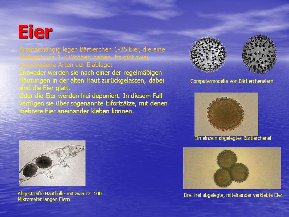 Eier Abgestreifte Hauthülle mit zwei ca. 100 Mikrometer langen Eiern Computermodelle von Bärtiercheneiern Ein einzeln abgelegtes Bärtierchenei Drei fr