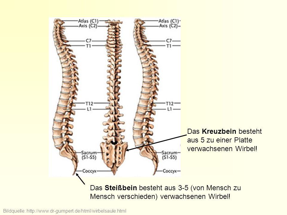 Bildquelle: http://www.dr-gumpert.de/html/wirbelsaule.html Das Kreuzbein besteht aus 5 zu einer Platte verwachsenen Wirbel! Das Steißbein besteht aus