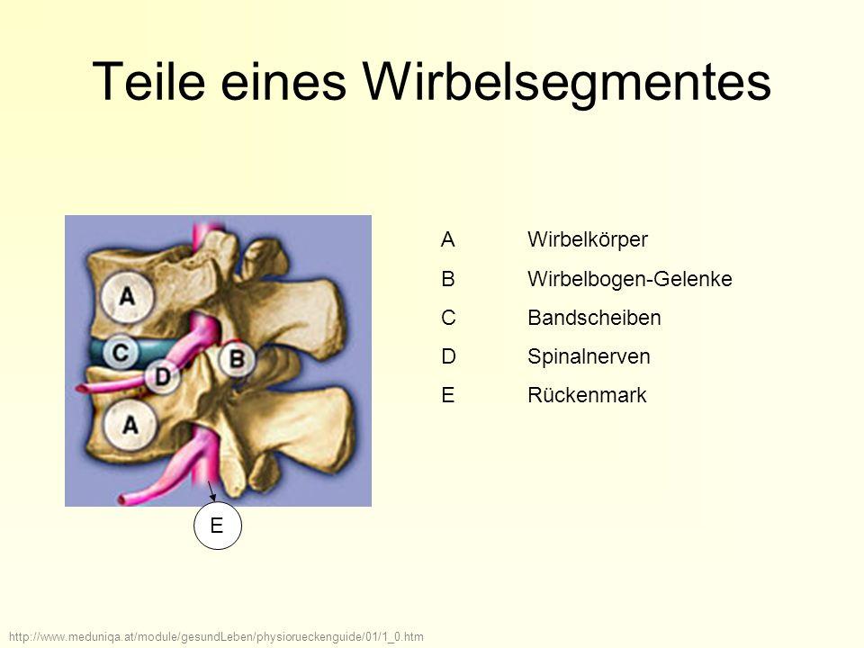 Teile eines Wirbelsegmentes AWirbelkörper BWirbelbogen-Gelenke CBandscheiben DSpinalnerven E Rückenmark http://www.meduniqa.at/module/gesundLeben/phys