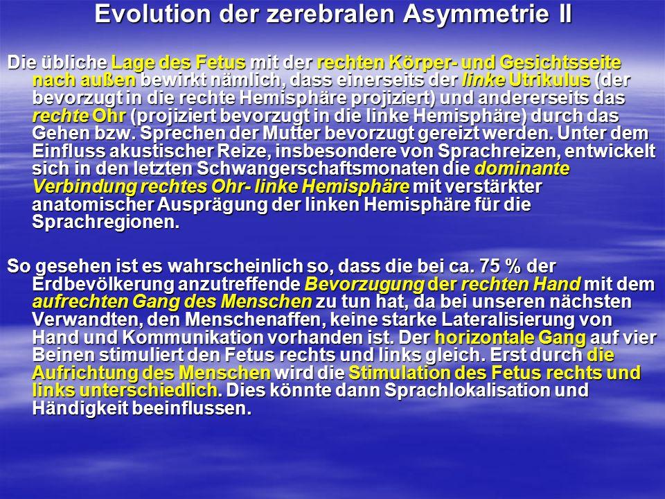 Evolution der zerebralen Asymmetrie II Die übliche Lage des Fetus mit der rechten Körper- und Gesichtsseite nach außen bewirkt nämlich, dass einerseit