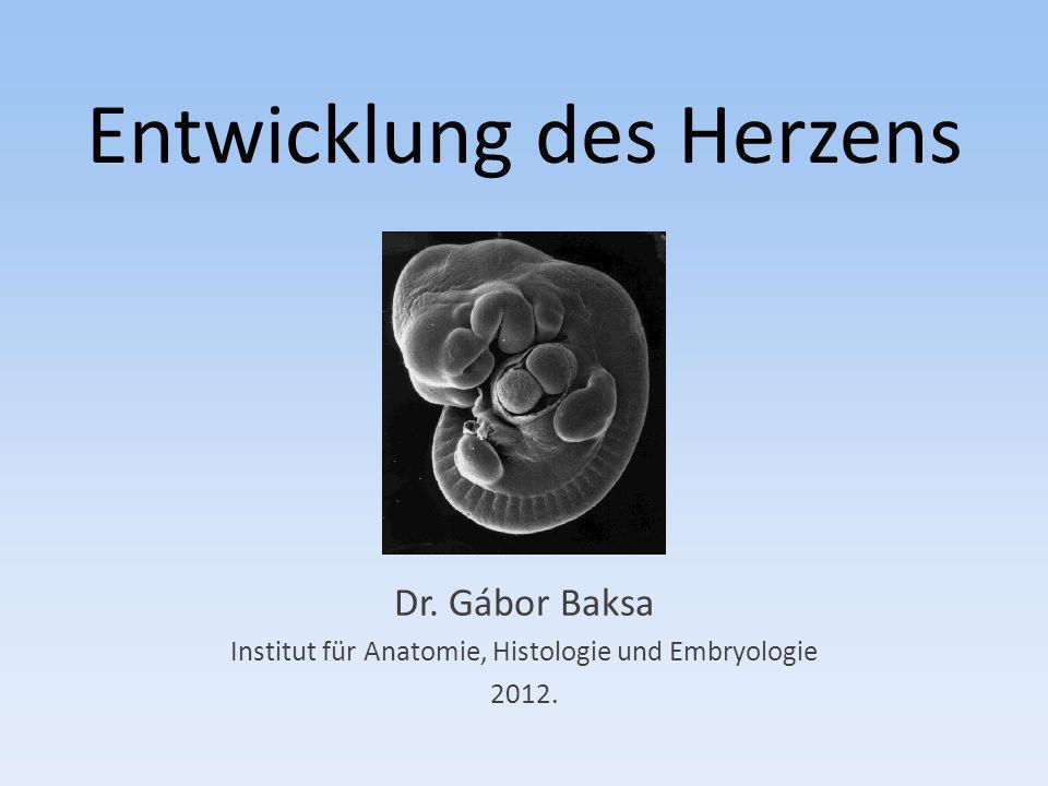 Entwicklung des Herzens Dr. Gábor Baksa Institut für Anatomie, Histologie und Embryologie 2012.