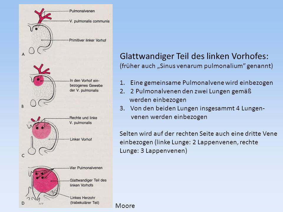 Glattwandiger Teil des linken Vorhofes: (früher auch Sinus venarum pulmonalium genannt) 1.Eine gemeinsame Pulmonalvene wird einbezogen 2.2 Pulmonalven