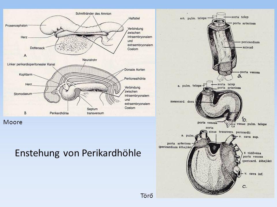 Enstehung von Perikardhöhle Törő Moore