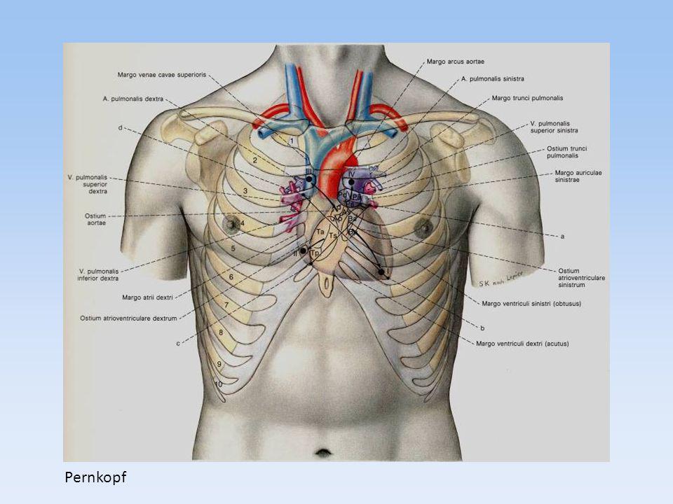 -Muskulatur -Endo- und Epicard bzw.