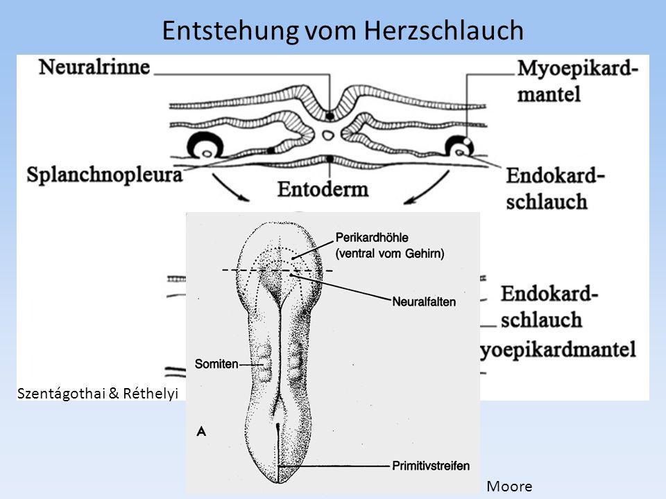 Glattwandiger Teil des linken Vorhofes: (früher auch Sinus venarum pulmonalium genannt) 1.Eine gemeinsame Pulmonalvene wird einbezogen 2.2 Pulmonalvenen den zwei Lungen gemäß werden einbezogen 3.Von den beiden Lungen insgesammt 4 Lungen- venen werden einbezogen Selten wird auf der rechten Seite auch eine dritte Vene einbezogen (linke Lunge: 2 Lappenvenen, rechte Lunge: 3 Lappenvenen) Moore
