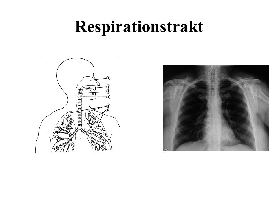 Respirationstrakt