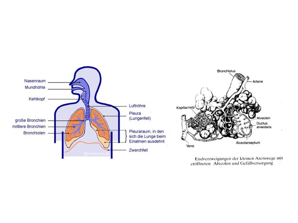 Die Ductus alveolares gehen aus den Bronchioli respiratorii hervor und sind an ihrer Seite dicht von Alveolen besetzt, die durch Septen voneinander getrennt sind.