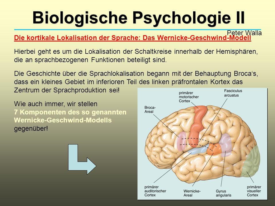 Biologische Psychologie II Peter Walla Die kortikale Lokalisation der Sprache: Das Wernicke-Geschwind-Modell Hierbei geht es um die Lokalisation der S