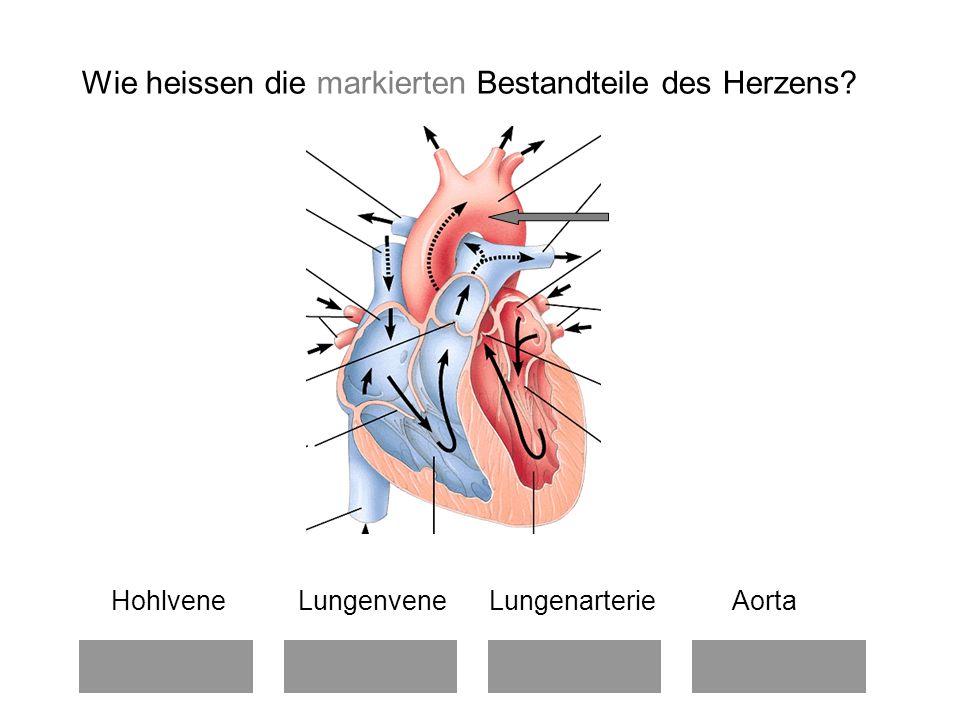 Wie heissen die markierten Bestandteile des Herzens? Hohlvene Lungenvene Lungenarterie Aorta