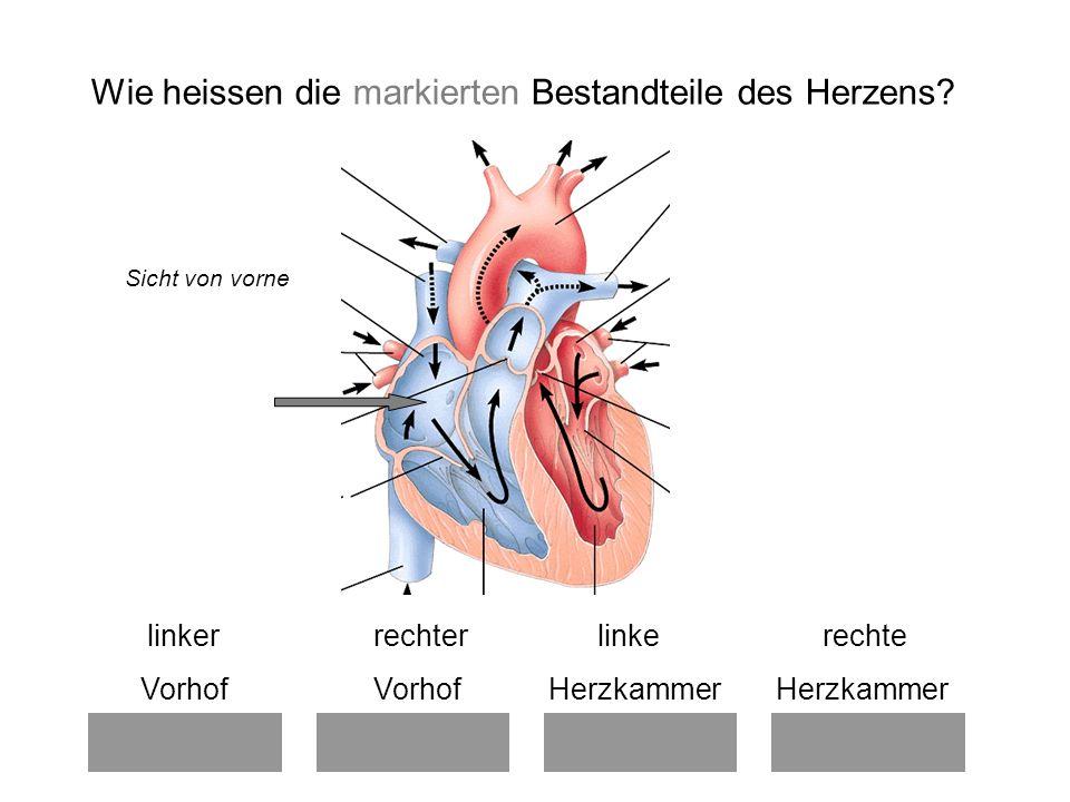 linker rechter linke rechte Vorhof Vorhof Herzkammer Herzkammer Wie heissen die markierten Bestandteile des Herzens.