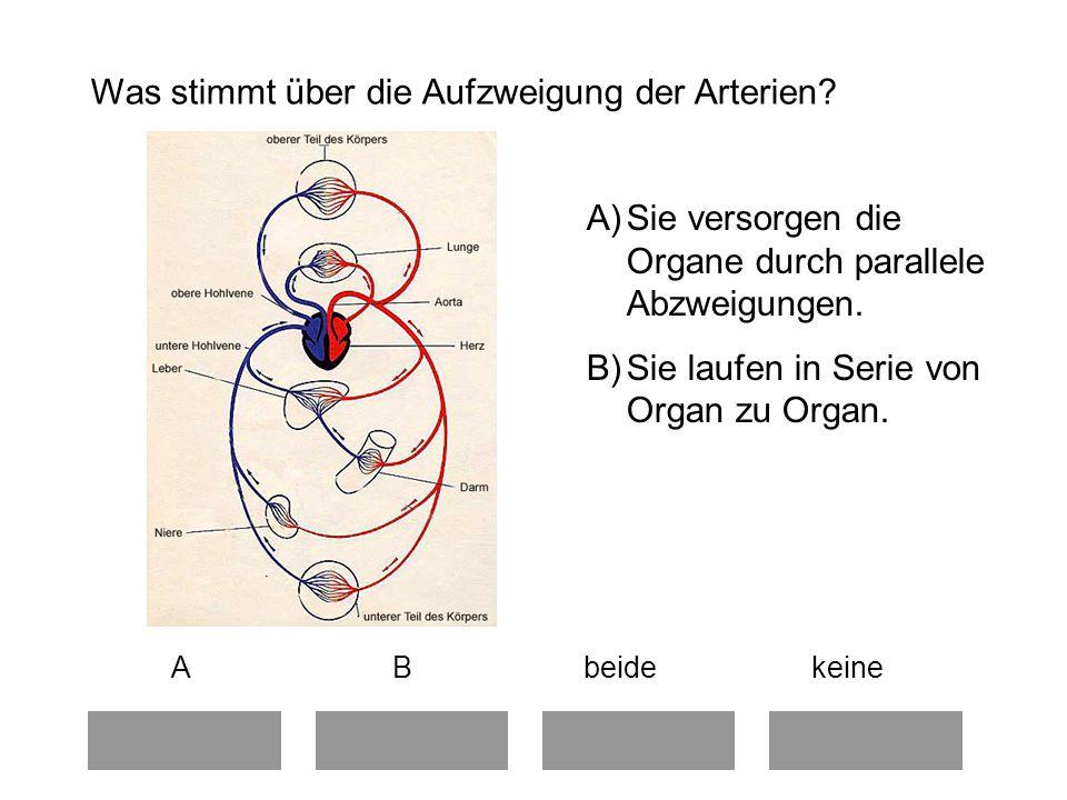 Was stimmt über die Aufzweigung der Arterien.