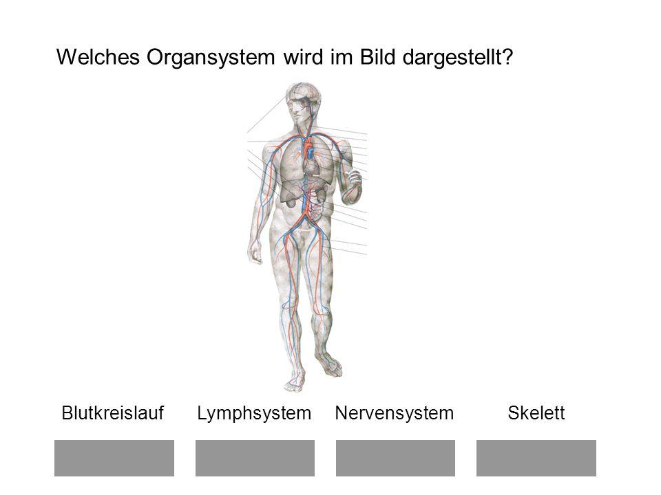 Welches Organsystem wird im Bild dargestellt? Blutkreislauf Lymphsystem Nervensystem Skelett