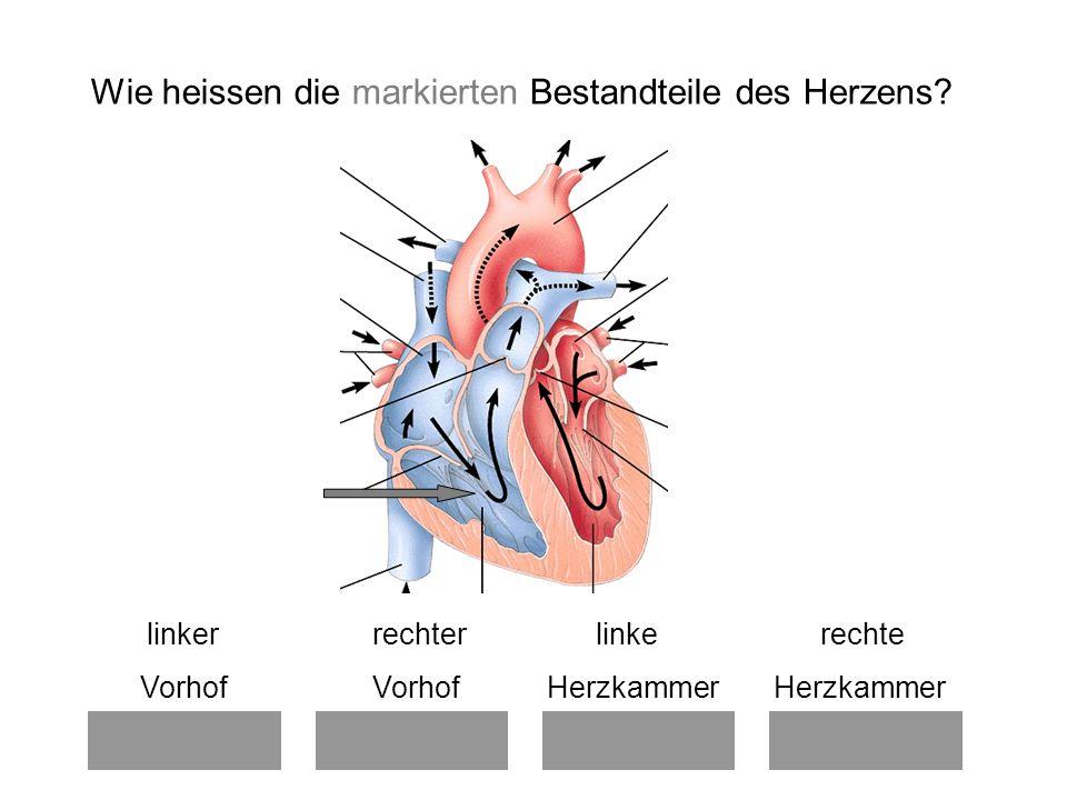 linker rechter linke rechte Vorhof Vorhof Herzkammer Herzkammer Wie heissen die markierten Bestandteile des Herzens?